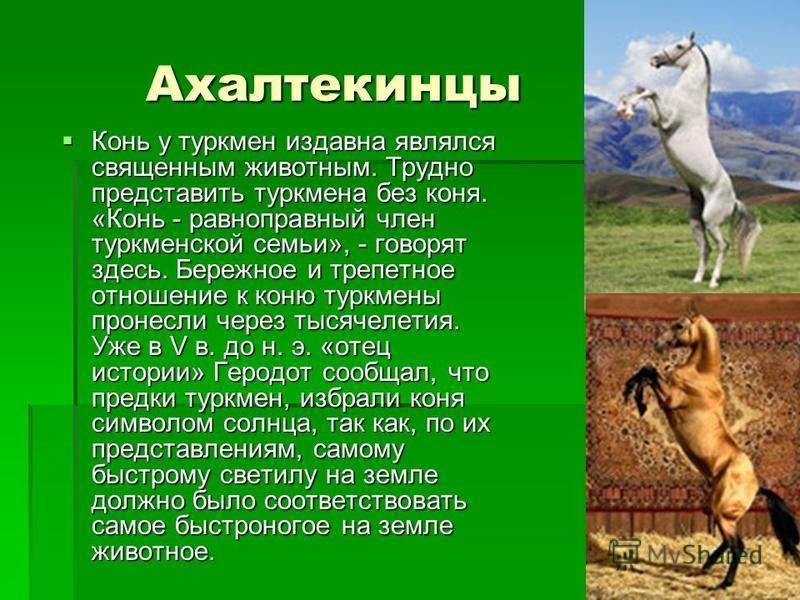 Ахалтекинцы Ахалтекинцы Конь у туркмен издавна являлся священным животным. Трудно представить туркмена без коня. «Конь - равноправный член туркменской семьи», - говорят здесь. Бережное и трепетное отношение к коню туркмены пронесли через тысячелетия.