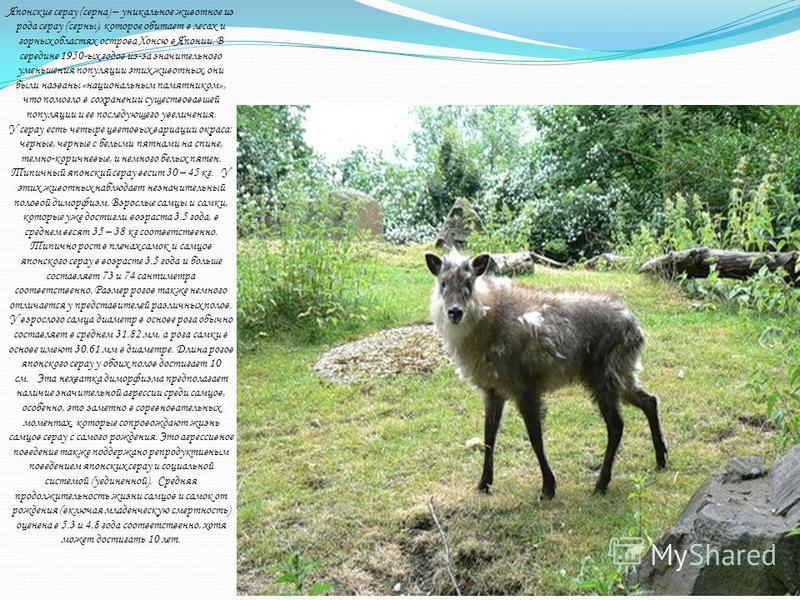 Японские серау (серна) – уникальное животное из рода серау (серны), которое обитает в лесах и горных областях острова Хонсю в Японии. В середине 1950-ых годов из-за значительного уменьшения популяции этих животных, они были названы «национальным памя