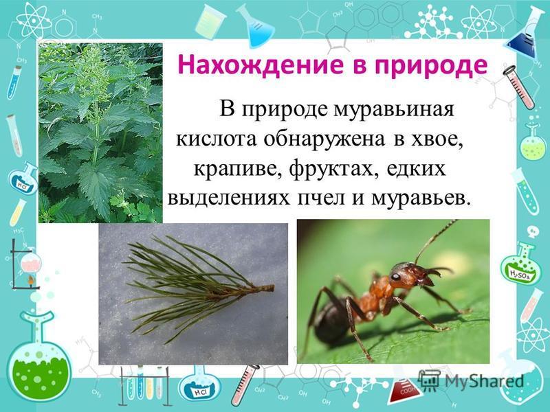 Нахождение в природе В природе муравьина я кислота обнаружена в хвое, крапиве, фруктах, едких выделениях пчел и муравьев.