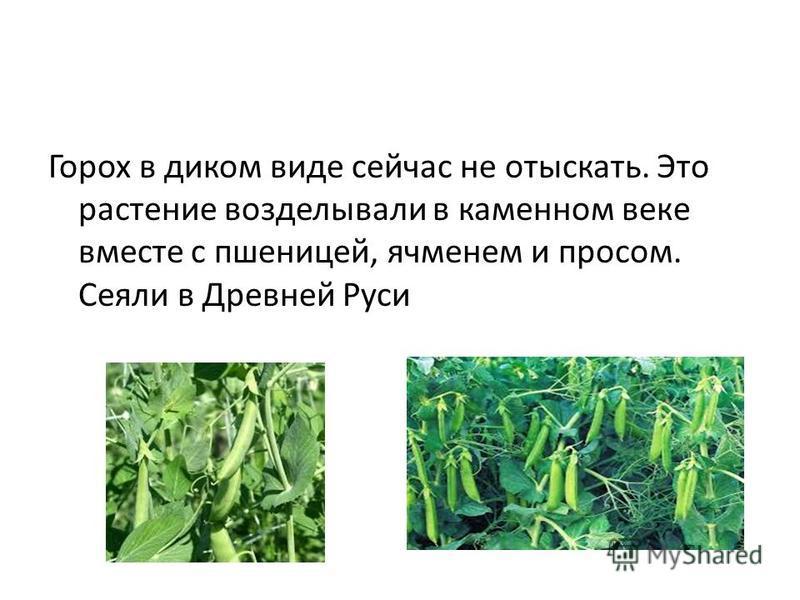Горох в диком виде сейчас не отыскать. Это растение возделывали в каменном веке вместе с пшеницей, ячменем и просом. Сеяли в Древней Руси