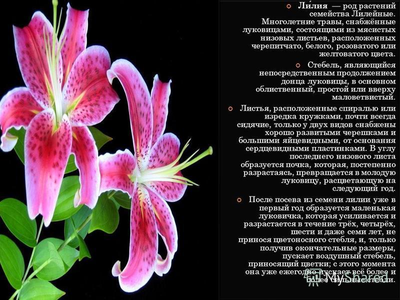 Лилия род растений семейства Лилейные. Многолетние травы, снабжённые луковицами, состоящими из мясистых низовых листьев, расположенных черепитчато, белого, розоватого или желтоватого цвета. Стебель, являющийся непосредственным продолжением донца луко