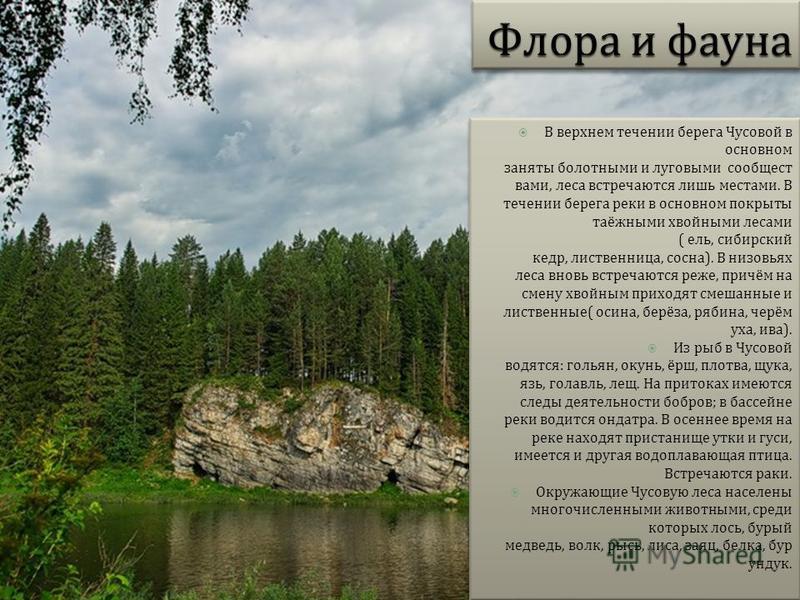 В верхнем течении берега Чусовой в основном заняты болотными и луговыми сообществами, леса встречаются лишь местами. В течении берега реки в основном покрыты таёжными хвойными лесами ( ель, сибирский кедр, лиственница, сосна ). В низовьях леса вновь
