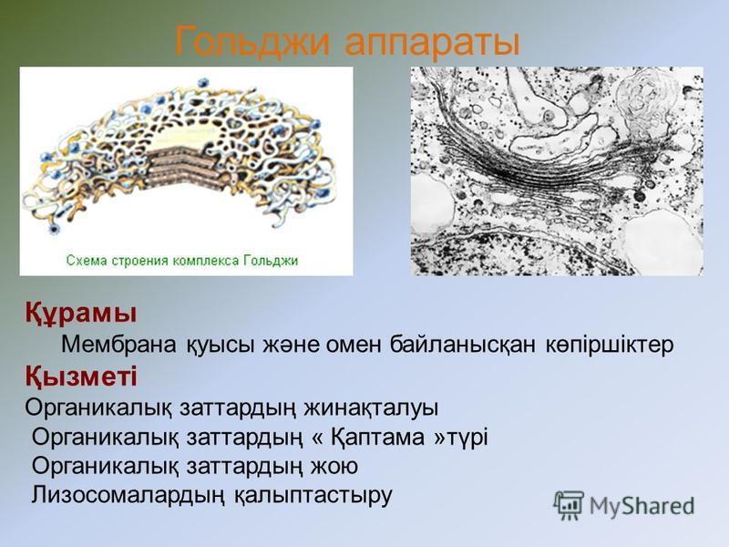 Эндоплазмалық тор Тегіс Бұдыр Құрамы 1 мембрана пішіні: Қуыс Канал Труба Мембрана бетінде – рибосома боладыміндеттері: рибосомаларды пайдалана отырып органикалық заттарды синтездейді