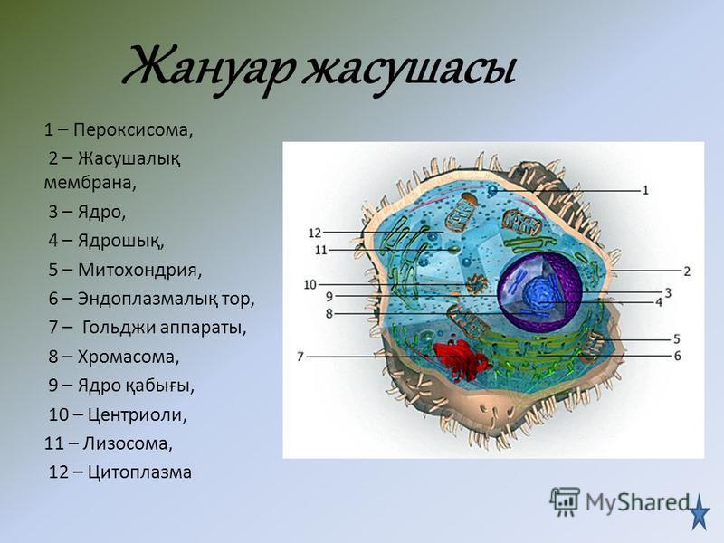 Отличительные признаки БелгілеріӨсімдік жасушасыЖануар жасушасы 1.Целлюлозалық жасуша қабығы Жасуша мембранасының сыртында орналасқан болмайды 2. ПластидХлоропласты Хромопласты Лейкопласты болмайды 3.Негізгі қосалқы көмірсулар крахмалгликоген 4 Жасуш
