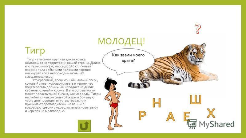 Тигр Тигр - это самая крупная дикая кошка, обитающая на территории нашей страны. Длина его тела около 3 м, масса до 250 кг. Ржавая окраска тела с тёмными полосами хорошо маскирует его в непроходимых чащах смешанных лесов. Это красивый, грациозный и л