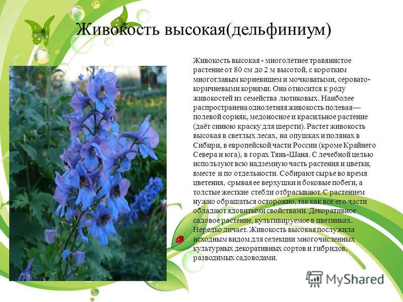 Живокость высокая(дельфиниум) Живокость высокая - многолетнее утравянистое растение от 80 см до 2 м высотой, с коротким многоглавым корневищем и мочковатыми, серовато- коричневыми корнями. Она относится к роду живокостей из семейства лютиковых. Наибо