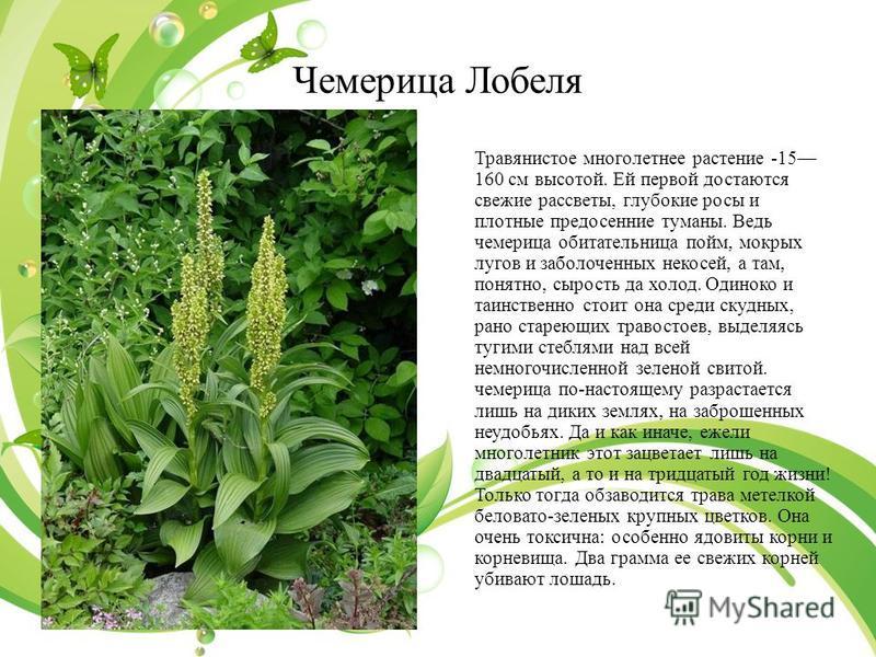 Чемерица Лобеля Травянистое многолетнее растение -15 160 см высотой. Ей первой достаются свежие рассветы, глубокие росы и плотные предосенние туманы. Ведь чемерица обитательница пойм, мокрых лугов и заболоченных не косей, а там, понятно, сырость да х