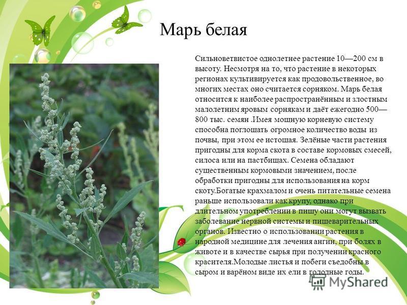 Марь белая Сильноветвистое однолетнее растение 10200 см в высоту. Несмотря на то, что растение в некоторых регионах культивируется как продовольственное, во многих местах оно считается сорняком. Марь белая относится к наиболее распросутранённым и зло