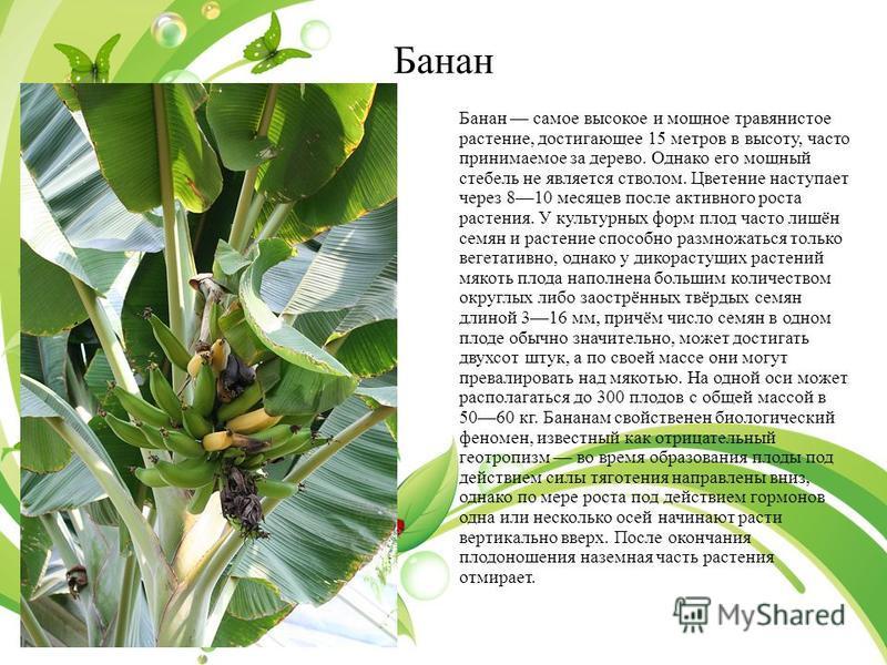 Банан Банан самое высокое и мощное утравянистое растение, достигающее 15 метров в высоту, часто принимаемое за дерево. Однако его мощный стебель не является стволом. Цветение наступает через 810 месяцев после активного роста растения. У культурных фо