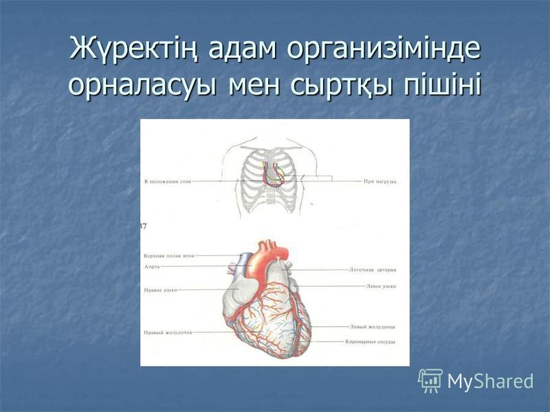 Жүректің адам организімінде орналасуы мен сыртқы пішіні