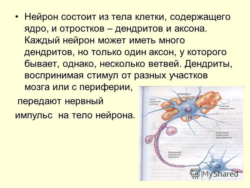 Нейрон состоит из тела клетки, содержащего ядро, и отростков – дендритов и аксона. Каждый нейрон может иметь много дендритов, но только один аксон, у которого бывает, однако, несколько ветвей. Дендриты, воспринимая стимул от разных участков мозга или