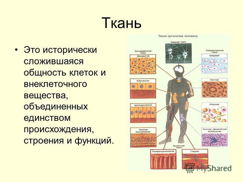 Ткань Это исторически сложившаяся общность клеток и внеклеточного вещества, объединенных единством происхождения, строения и функций.