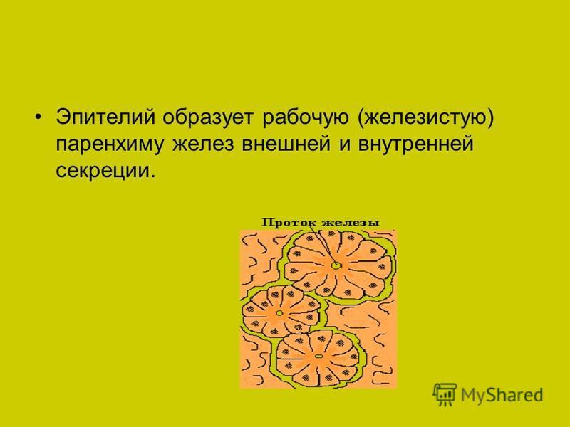 Эпителий образует рабочую (железистую) паренхиму желез внешней и внутренней секреции.