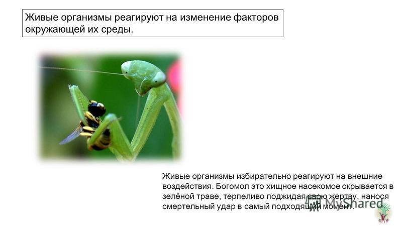 Живые организмы избирательно реагируют на внешние воздействия. Богомол это хищное насекомое скрывается в зелёной траве, терпеливо поджидая свою жертву, нанося смертельный удар в самый подходящий момент. Живые организмы реагируют на изменение факторов