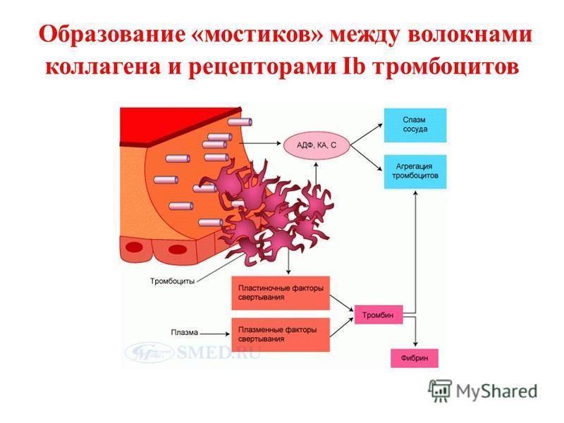 Образование «мостиков» между волокнами коллагена и рецепторами Ib тромбоцитов