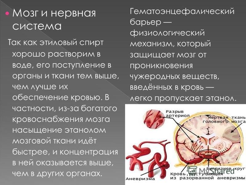 Мозг и нервная система Так как этиловый спирт хорошо растворим в воде, его поступление в органы и ткани тем выше, чем лучше их обеспечение кровью. В частности, из-за богатого кровоснабжения мозга насыщение этанолом мозговой ткани идёт быстрее, и конц
