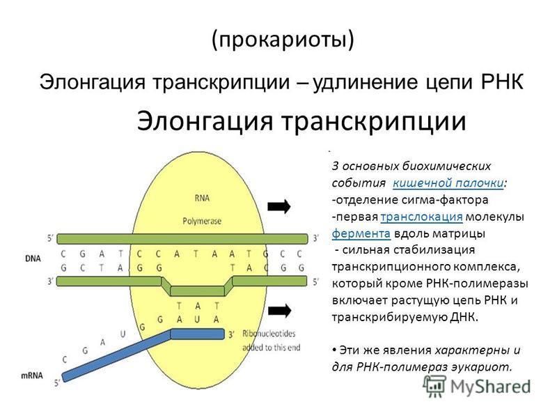 Элонгация транскрипции (прокариоты) Элонгация транскрипции – удлинение цепи РНК 3 основных биохимических события кишечной палочки:кишечной палочки -отделение сигма-фактора -первая транслокация молекулы фермента вдоль матрицы транслокация фермента - с