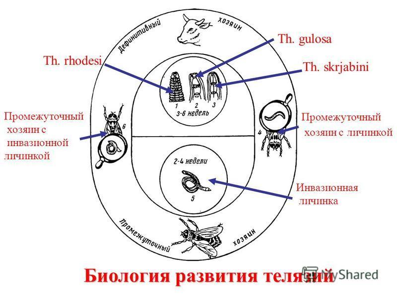 Биология развития телячий Th. rhodesi Th. gulosa Th. skrjabini Промежуточный хозяин с личинкой Инвазионная личинка Промежуточный хозяин с инвазионной личинкой