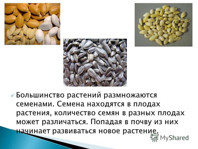 Большинство растений размножаются семенами. Семена находятся в плодах растения, количество семян в разных плодах может различаться. Попадая в почву из них начинает развиваться новое растение.