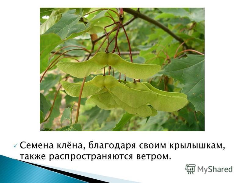 Семена клёна, благодаря своим крылышкам, также распространяются ветром.