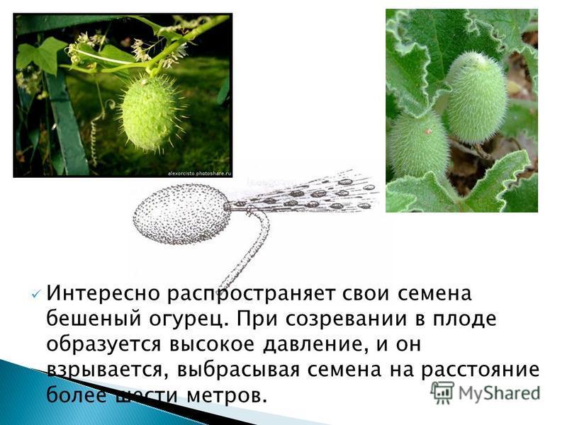 Интересно распространяет свои семена бешеный огурец. При созревании в плоде образуется высокое давление, и он взрывается, выбрасывая семена на расстояние более шести метров.