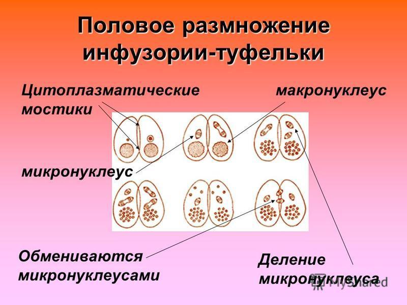 Цитоплазматические мостики Обмениваются микронуклеусами макронуклеус микронуклеус Деление микронуклеуса