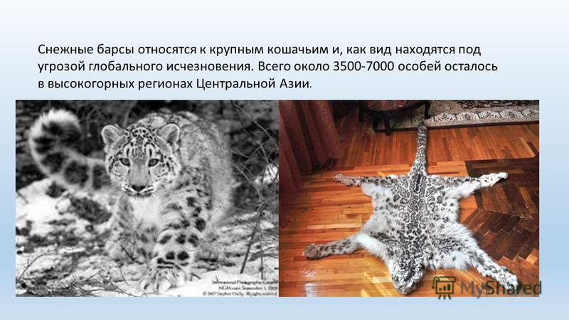 Снежные барсы относятся к крупным кошачьим и, как вид находятся под угрозой глобального исчезновения. Всего около 3500-7000 особей осталось в высокогорных регионах Центральной Азии.