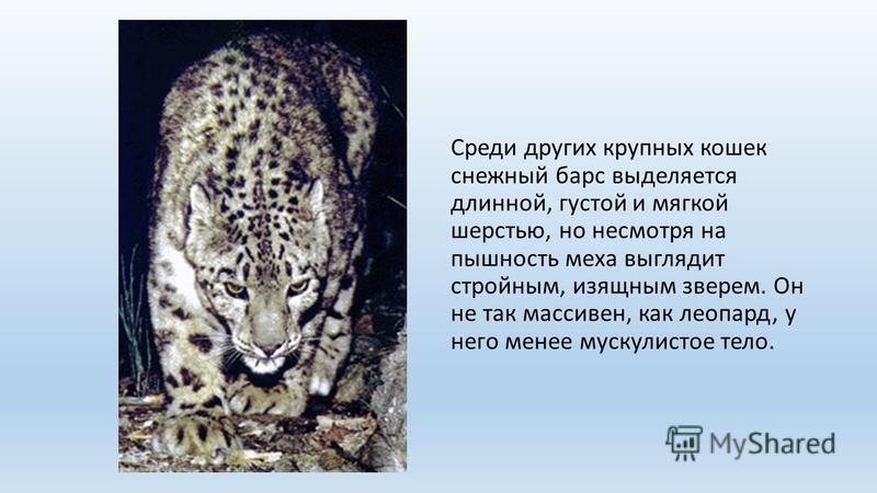 Среди других крупных кошек снежный барс выделяется длинной, густой и мягкой шерстью, но несмотря на пышность меха выглядит стройным, изящным зверем. Он не так массивен, как леопард, у него менее мускулистое тело.
