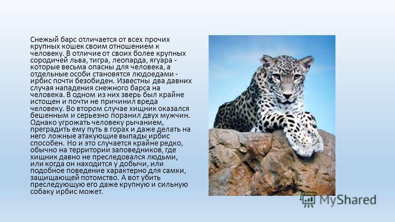 Снежый барс отличается от всех прочих крупных кошек своим отношением к человеку. В отличие от своих более крупных сородичей льва, тигра, леопарда, ягуара - которые весьма опасны для человека, а отдельные особи становятся людоедами - ирбис почти безоб