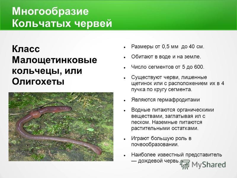 Многообразие Кольчатых червей Класс Малощетинковые кольчецы, или Олигохеты Размеры от 0,5 мм до 40 см. Обитают в воде и на земле. Число сегментов от 5 до 600. Существуют черви, лишенные щетинок или с расположением их в 4 пучка по кругу сегмента. Явля