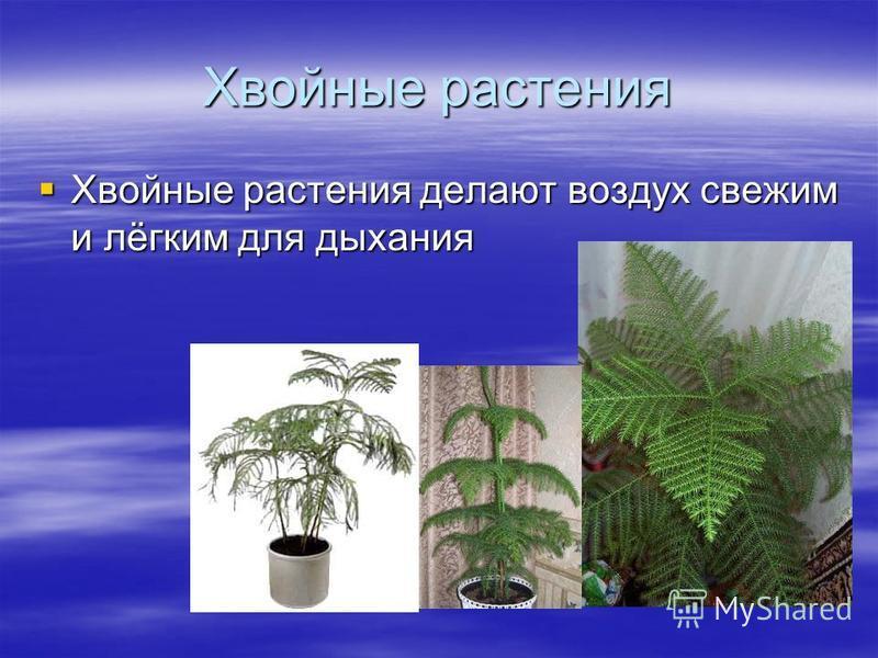 Хвойные растения Хвойные растения делают воздух свежим и лёгким для дыхания Хвойные растения делают воздух свежим и лёгким для дыхания
