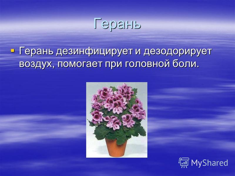 Герань Герань дезинфицирует и дезодорирует воздух, помогает при головной боли. Герань дезинфицирует и дезодорирует воздух, помогает при головной боли.