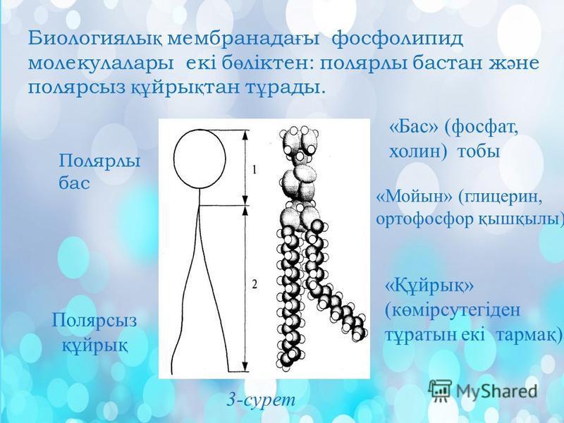 Биологиялы қ мембранада ғ ы фосфолипид молекулалары екі б ө ліктен: полярлы бастан ж ә не полярсыз құ йры қ тан т ұ рады. Полярлы бас 3- сурет Полярсыз құйрық «Бас» (фосфат, холин) тобы «Мойын» (глицерин, ортофосфор қышқылы) «Құйрық» (көмірсутегіден