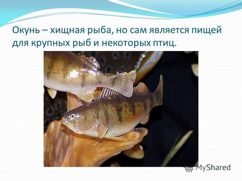 Окунь – хищная рыба, но сам является пищей для крупных рыб и некоторых птиц.