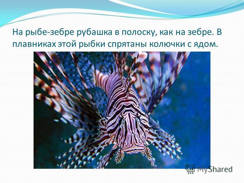 На рыбе-зебре рубашка в полоску, как на зебре. В плавниках этой рыбки спрятаны колючки с ядом.