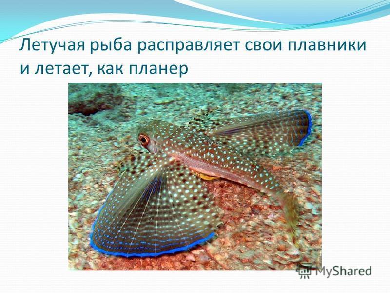 Летучая рыба расправляет свои плавники и летает, как планер