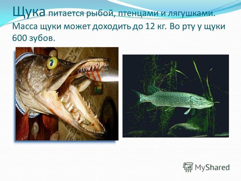Щука питается рыбой, птенцами и лягушками. Масса щуки может доходить до 12 кг. Во рту у щуки 600 зубов.