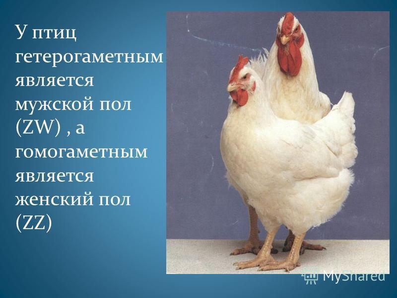У птиц гетерогаметным является мужской пол (ZW), а гомогаметным является женский пол (ZZ)