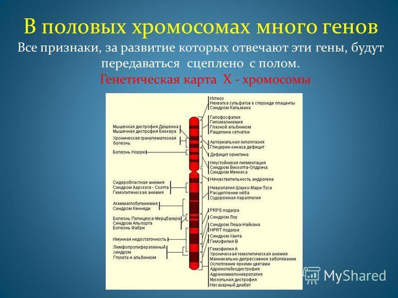 В половых хромосомах много генов Все признаки, за развитие которых отвечают эти гены, будут передаваться сцеплено с полом. Генетическая карта Х - хромосомы
