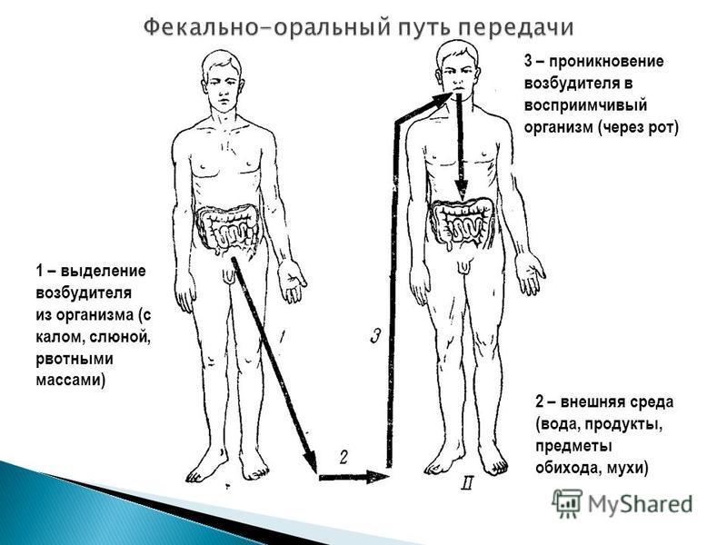 1 – выделение возбудителя из организма (с калом, слюной, рвотными массами) 2 – внешняя среда (вода, продукты, предметы обихода, мухи) 3 – проникновение возбудителя в восприимчивый организм (через рот)