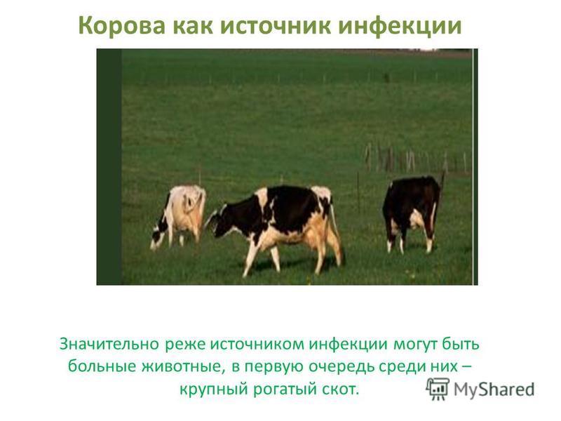 Корова как источник инфекции Значительно реже источником инфекции могут быть больные животные, в первую очередь среди них – крупный рогатый скот.