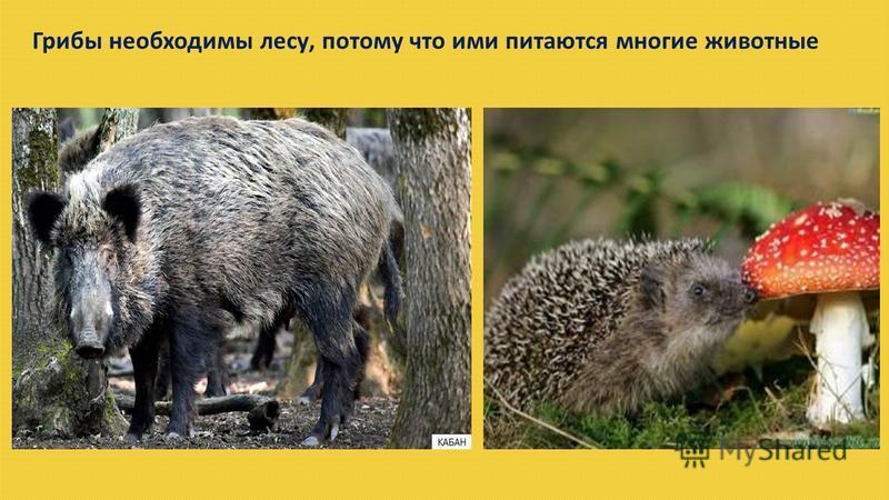 Грибы необходимы лесу, потому что ими питаются многие животные