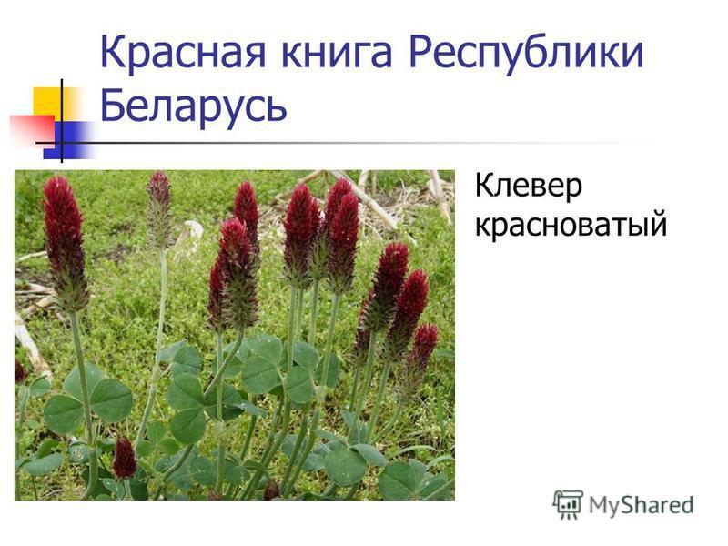 Красная книга Республики Беларусь Дрок германский
