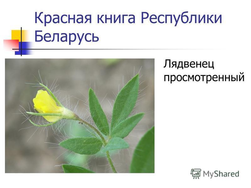 Красная книга Республики Беларусь Клевер красноватый