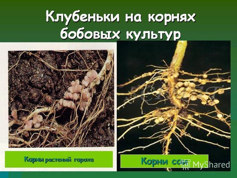 7 Особенности растений семейства плоды – боб корневая система – стержневая