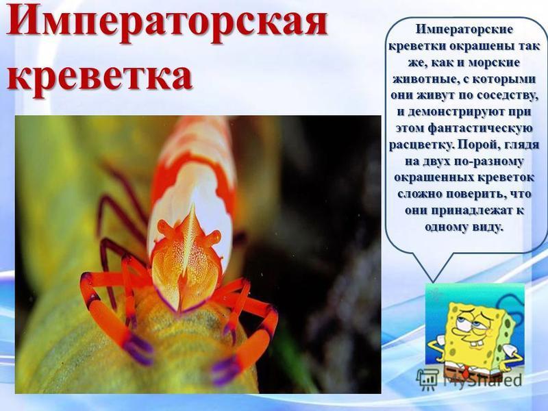 Императорские креветки окрашены так же, как и морские животные, с которыми они живут по соседству, и демонстрируют при этом фантастическую расцветку. Порой, глядя на двух по-разному окрашенных креветок сложно поверить, что они принадлежат к одному ви