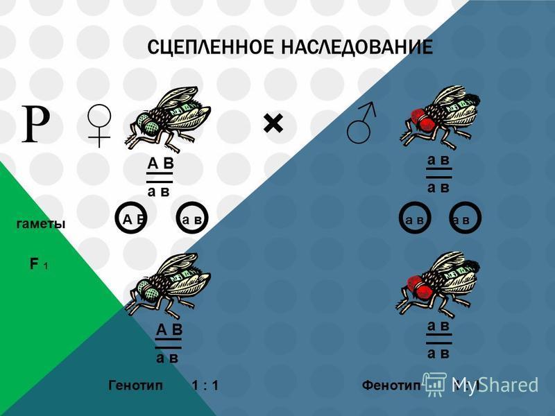 СЦЕПЛЕННОЕ НАСЛЕДОВАНИЕ × гаметы F 1 А В а в Р А В а в Генотип 1 : 1 Фенотип А В а в