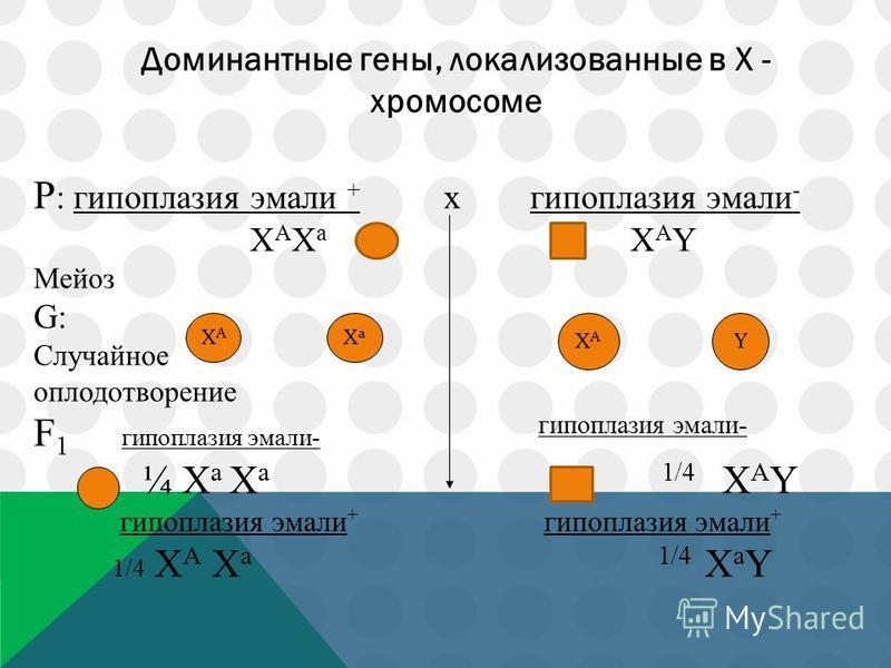 Доминантные гены, локализованные в Х - хромосоме P : гипоплазия эмали + x гипоплазия эмали - Х А Х а Х А Y Мейоз G: Случайное оплодотворение F 1 гипоплазия эмали- гипоплазия эмали- ¼ Х а Х а 1/4 Х А Y гипоплазия эмали + гипоплазия эмали + 1/4 Х А Х а