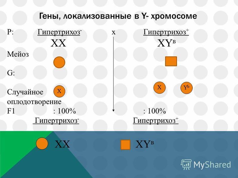 Гены, локализованные в Y- хромосоме P: Гипертрихоз - x Гипертрихоз + ХХ ХY в Мейоз G: Случайное оплодотворение F1 : 100% : 100% Гипертрихоз - Гипертрихоз + ХХ ХY в Х Х YbYb