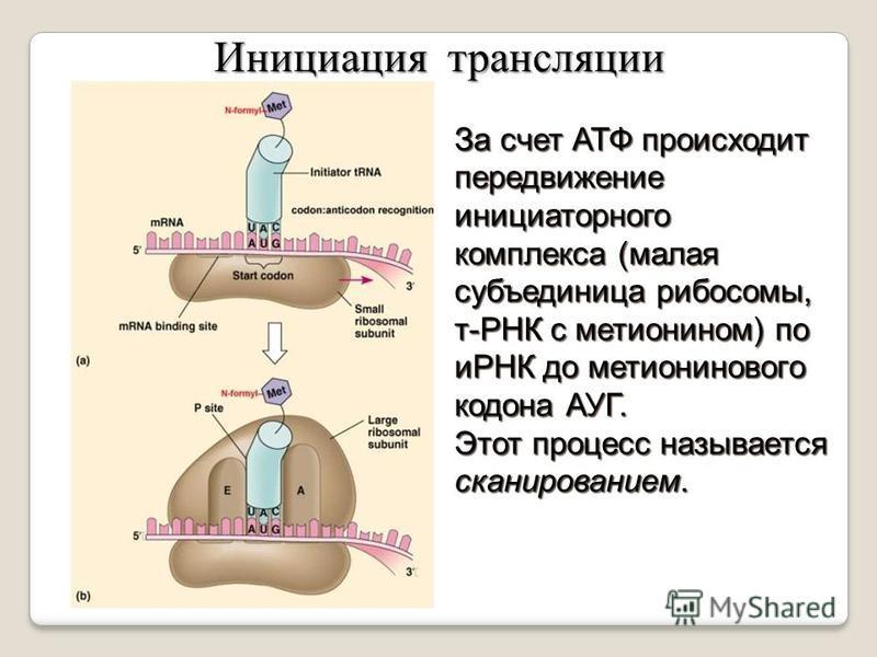 За счет АТФ происходит передвижение инициаторного комплекса (малая субъединица рибосомы, т-РНК с метионином) по иРНК до метионинового кодона АУГ. Этот процесс называется сканированием. Инициация трансляции